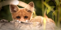 Little fox 2093053 960 720 - VostokMedia.Com
